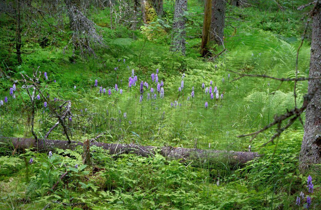 Maariankämmeköitä Lauhanvuoren kansallispuistossa